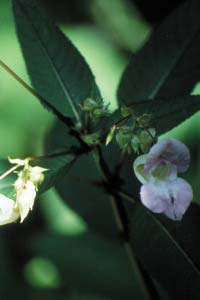 Impatiens-impaciencia